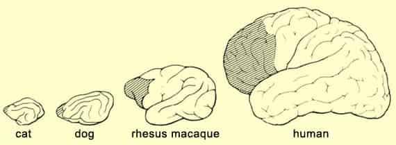 córtex prefrontal evolución