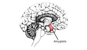 amígdala