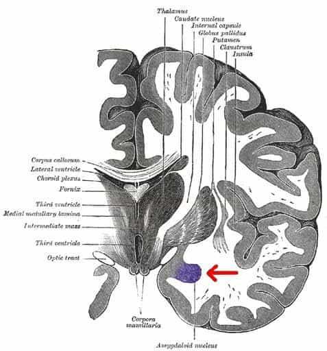 amígdala cerebral